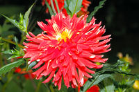 Blooming Dahlia in a garden, in late summer