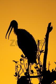 Waldstorch - Mycteria americana - American Wood Ibis