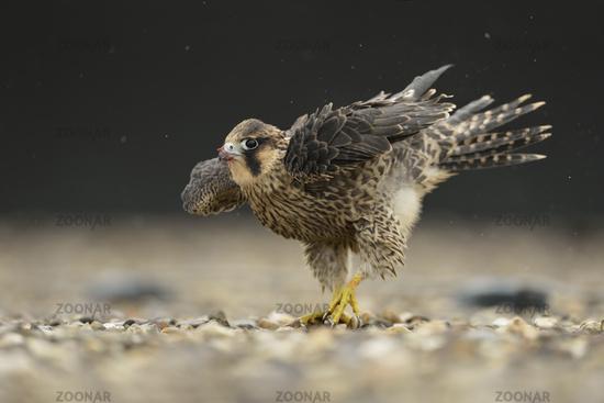 dancing in the rain... Peregrine Falcon *Falco peregrinus*