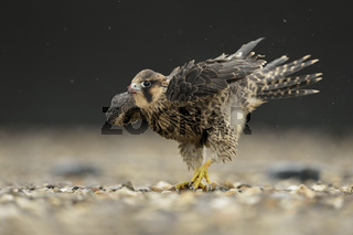 Regentanz... Wanderfalke *Falco peregrinus*