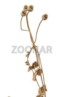 Dried poppy box and stems, isolated on white background