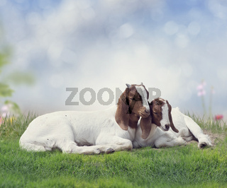 Two young Boer goats