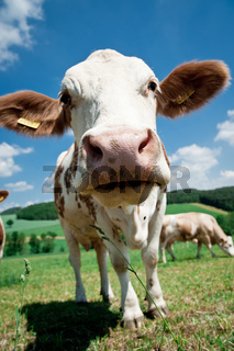 Close to a Cow