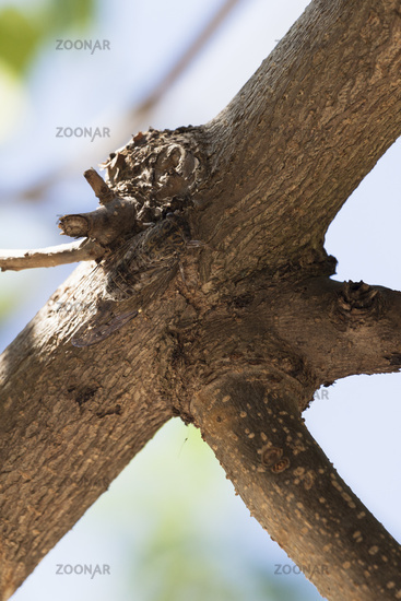 Cicada camouflaged on the tree