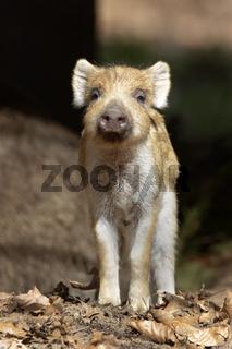Wildschwein (Sus scrofa), Frischling, stehend, Schleswig-Holstein, Deutschland, Europa