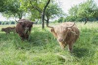 Irish beef cattle nearby Schwaebisch Hall, Germany