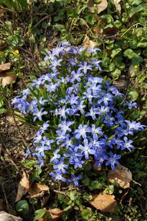 Scilla bifolia, Zweiblättriges Blausternchen, Alpine Squill