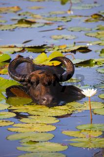 Wasserbueffel - Ruhunu Yala NP, Sri Lanka