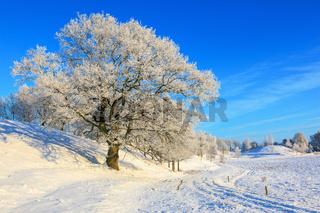Oak tree i a winter landscape