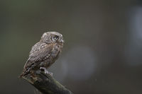 on a rainy day... Eurasian Scops Owl *Otus scops*