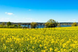 Blühender Raps in Mecklenburg im Frühling