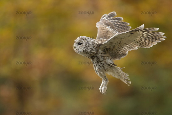 in flight... Tawny Owl *Strix aluco*