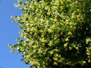 Tilia cordata, Winterlinde, lime