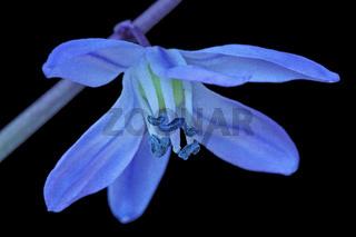 Zweiblaettriger Blaustern (Scilla bifolia)