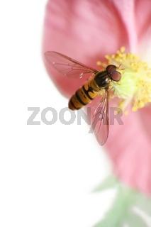 Hainschwebfliege auf Mohnblüte