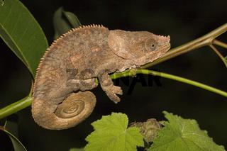 kurzhornchamaeleon, calumma brevicornis, short-horned chameleon,  madagaskar, madagascar, afrika, africa