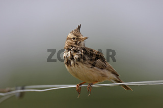 Haubenlerche, Galerida cristata, crested lark