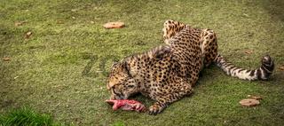 Cheetah feasting on meat