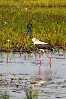 Black necked stork or Jabiru wading in a billabong searching on prey, Yellow Water, Kakadu National