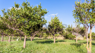 Citrus orchard in Sicily in summer day