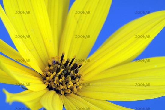 Yellow flower, garden marguerite (Chrysanthemum)