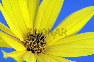 Gelbe Blüte, Gartenmargerite (Chrysanthemum)