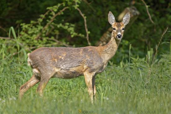 Roe deer (Capreolus capreolus), Schleswig-Holstein, Germany, Europe