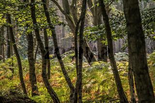 Im Darsser Wald (Halbinsel Fischland-Darss-Zingst, Nationalpark Vorpommersche Boddenlandschaft))