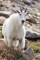 Mountain goat at scarp