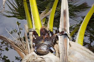 Kokosnuss-Krabbe