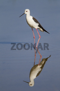 Stelzenläufer, Himantopus himantopus, Common Stilt