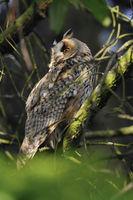hidden in a tree... Long-eared Owl *Asio otus*