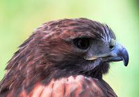 Closeup portrait of a Goshawk (Accipiter gentilis)