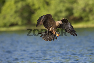 Schwarzmilan, Milvus migrans, Black Kite