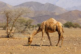 Halbwildes Dromedar (Camelus dromedarius)