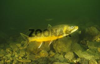 Seesaibling, Laichzeit, Salvelinus alpinus salvelinus, Artic Char, spawning period, Grundlsee, Oestereich, Austria