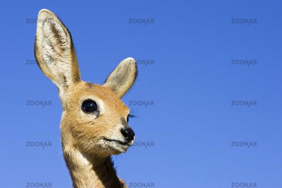 young steenbok, Africa