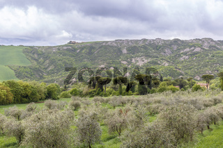Olive growing in a valley
