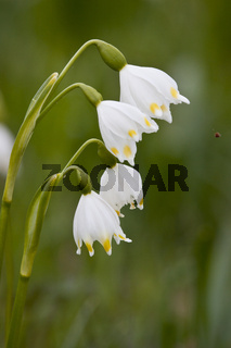 Fruehlingsknotenblume, Leucojum vernum, spring snowflake