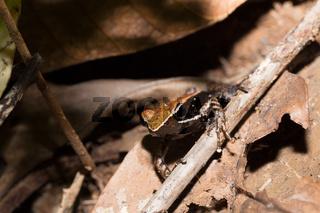 Beautiful small frog brown mantella Madagascar