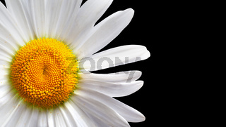 White chamomile isolated on black background