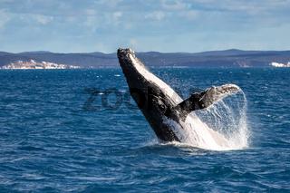 Humpback whale spy hopping, Hervey Bay, Queensland