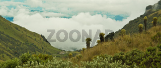 frailejones, endemische Pflanzen, Kolumbien