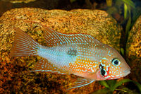Mexican Fire Mouth (Thorichthys ellioti) - male