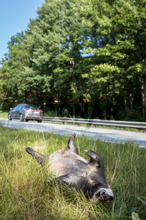 Dead badger killed by car, car driving in background vertical image