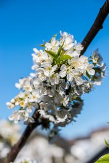 Kirschblüten-6.jpg
