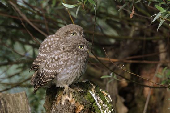 twins... Little Owls *Athene noctua*