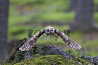 Waldkauz, Strix aluco, Tawny owl