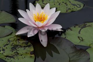 Nymphaea,seerose,wasserrose,Water-lilies,Nymphaea Rosennymphe,