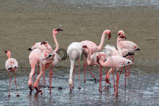 colony of Rosy Flamingo, africa wildlife